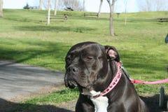 Cão de Pitbull Fotos de Stock Royalty Free