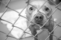 Cão de Pitbull atrás da pena do elo de corrente na libra de cão imagens de stock royalty free