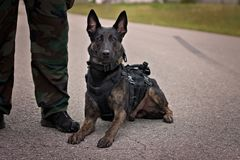 Cão de polícia holandês do pastor foto de stock royalty free