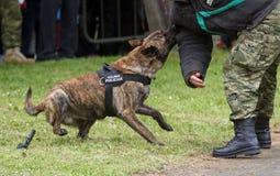 Cão de polícia militar Imagens de Stock Royalty Free
