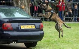 Cão de polícia militar Imagem de Stock Royalty Free