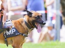 Cão de polícia militar alemão Foto de Stock Royalty Free