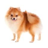 Cão de Pomeranian Fotos de Stock