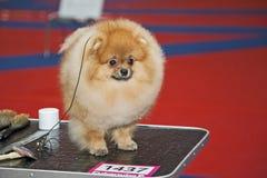 Cão de Pomeranian foto de stock royalty free