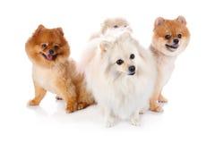 Cão de Pomeranian Imagens de Stock Royalty Free