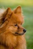 Cão de Pomeranian fotografia de stock royalty free