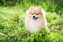 Cão de Pomeranian Fotografia de Stock