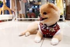 Cão de Pomeranian Foto de Stock