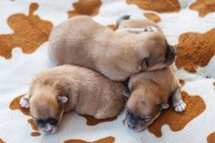 Cão de Pomeranian, cão pomeranian do retrato do close up Foto de Stock