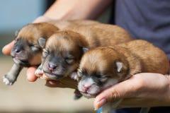 Cão de Pomeranian, cão pomeranian do retrato do close up Imagem de Stock