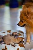 Cão de Pomeranian, cão pomeranian do retrato do close up Foto de Stock Royalty Free