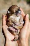 Cão de Pomeranian, cão pomeranian do retrato do close up Imagens de Stock Royalty Free