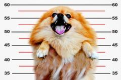 Cão de Pomeranian, fim acima do isolamento pequeno do cão pomeranian do retrato no fundo branco, cão pequeno de uma raça com cabe Imagem de Stock