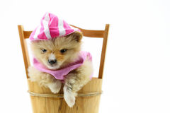 Cão de Pomeranian, fim acima do isolamento pequeno do cão pomeranian do retrato no fundo branco, cão pequeno de uma raça com cabe Fotos de Stock