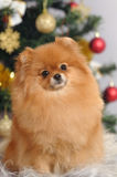 Cão de Pomeranian na casa Imagens de Stock