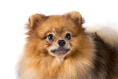 Cão de Pomeranian no fundo branco Imagem de Stock Royalty Free