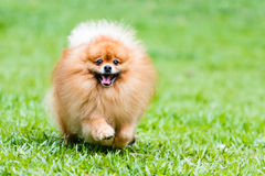 Cão de Pomeranian que corre na grama verde no jardim Fotografia de Stock Royalty Free