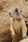 Cão de pradaria curioso Fotos de Stock Royalty Free