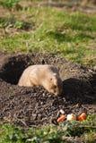 Cão de pradaria que encontra o alimento Foto de Stock Royalty Free