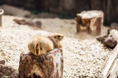 Cão de pradaria que encontra-se na terra verão fotos de stock royalty free