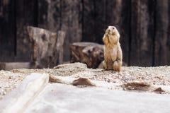 Cão de pradaria que está ereto na terra verão fotografia de stock royalty free