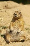 Cão de pradaria que senta-se na areia fotos de stock royalty free