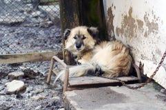 Cão de protetor Imagens de Stock