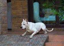 Cão de protetor antes de saltar ou de ataque imagens de stock royalty free