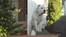 Cão de protetor branco 4K filme