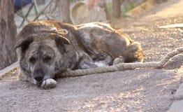 Cão de protetor na trela Fotos de Stock