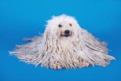 Cão de Puli Foto de Stock Royalty Free