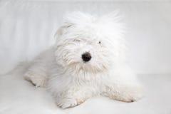 Cão de Puro Coton de Tuléar Foto de Stock Royalty Free