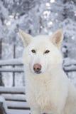 Cão de puxar trenós adorável Fotografia de Stock Royalty Free