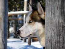Cão de puxar trenós atrás de um tronco de árvore Foto de Stock