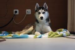 cão de puxar trenós Bi-eyed foto de stock royalty free