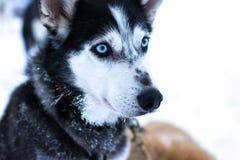 Cão de puxar trenós bonito Fotografia de Stock Royalty Free
