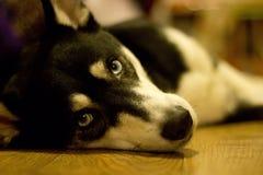 Cão de puxar trenós bonito do cachorrinho Fotos de Stock