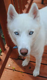 Cão de puxar trenós branco Foto de Stock Royalty Free