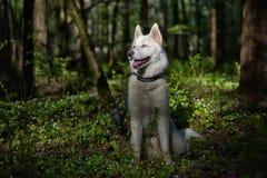 Cão de puxar trenós branco em uma floresta da mola Imagem de Stock Royalty Free