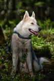Cão de puxar trenós branco em uma floresta da mola Fotografia de Stock Royalty Free