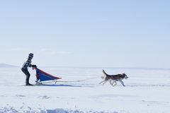 Cão de puxar trenós da raça de cão de trenó no inverno Foto de Stock