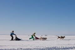 Cão de puxar trenós da raça de cão de trenó no inverno Imagens de Stock
