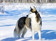 Cão de puxar trenós de Chukchi fotografia de stock