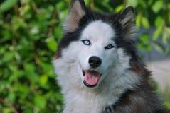 Cão de puxar trenós de olhos azuis Fotos de Stock