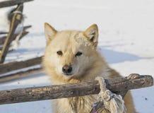 Cão de puxar trenós de Raindeer foto de stock royalty free