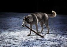 Cão de puxar trenós de Sibirian Foto de Stock