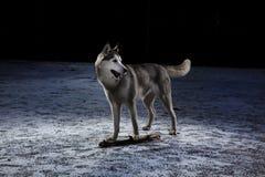 Cão de puxar trenós de Sibirian Imagens de Stock