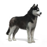 Cão de puxar trenós de Sibirya foto de stock