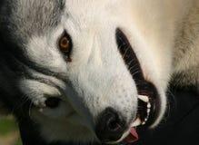 Cão de puxar trenós de sorriso Foto de Stock