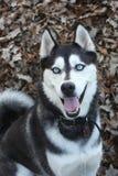 Cão de puxar trenós de sorriso nas folhas Imagem de Stock Royalty Free